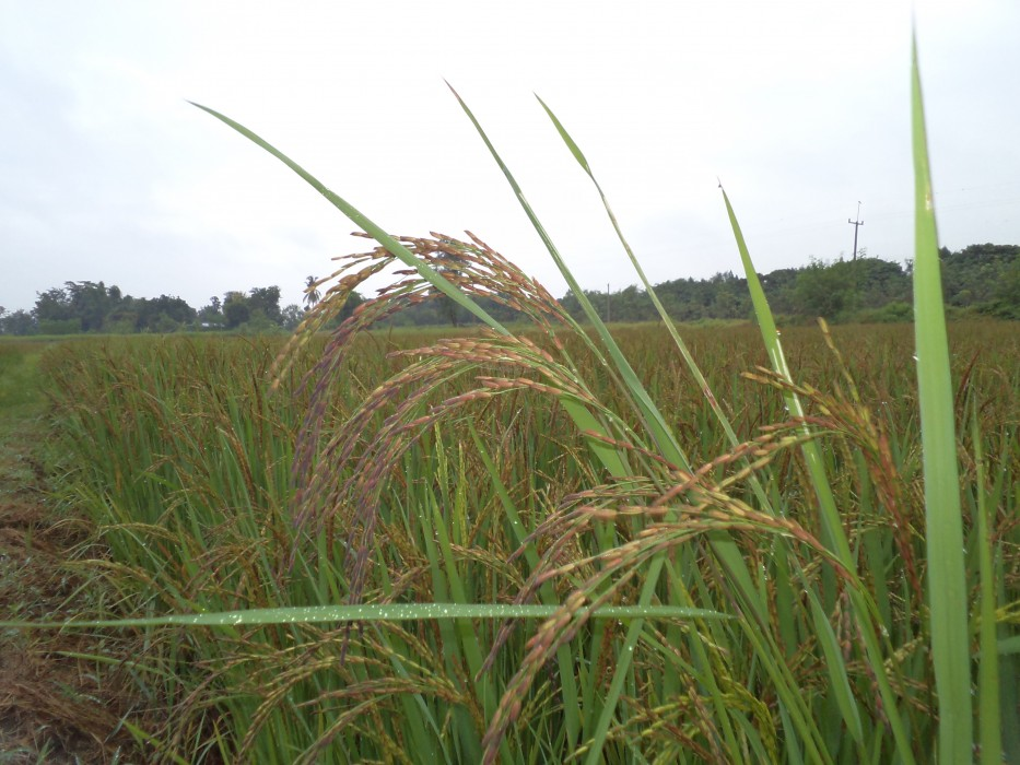 """ข้าวคัดพันธุ์เมล็ดมีสีม่วงเข้ม ชาวจีนโบราณเรียกว่า """"ข้าวจักรพรรดิ์"""" (Emperor's Rice) เพราะถือเป็นข้าวเสวยสำหรับจักรพรรดิ์เท่านั้น มีธาตุเหล็กมากกว่าข้าวทั่วไปถึง 30% เมื่อหุงสุกจะมีสีม่วงอ่อน นุ่ม เหนียว และมีกลิ่นหอม ช่วยบำรุงอินเหมาะสำหรับคนที่พลังอินพร่อง เสริมการทำงานของไต กระตุ้นม้าม เพิ่มความร้อนให้ตับ  ปลูกและดูแลด้วย """"ระบบเกษตรอินทรีย์พลังชีวภาพ"""" (Bio-Energetic Organic Agriculture)"""